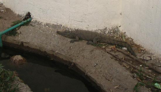 Sobek, le dieu crocodile.