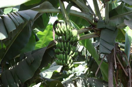 Regime de bananes.