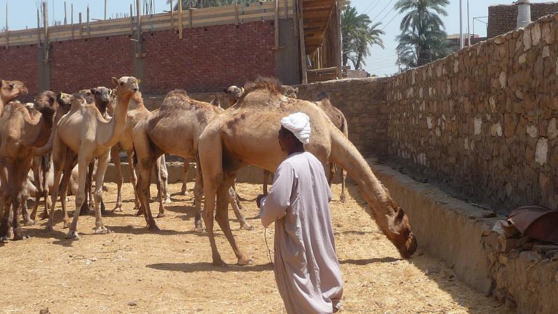 Dromadaires à Daraw